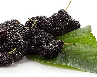 Pakistan Mulberry Morus Nigra Live Tree