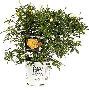 1 Gal. Oso Easy Lemon Zest Landscape Rose (Rosa) Live Shrub, Yellow Flowers