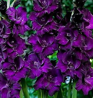 gladiolus perennial