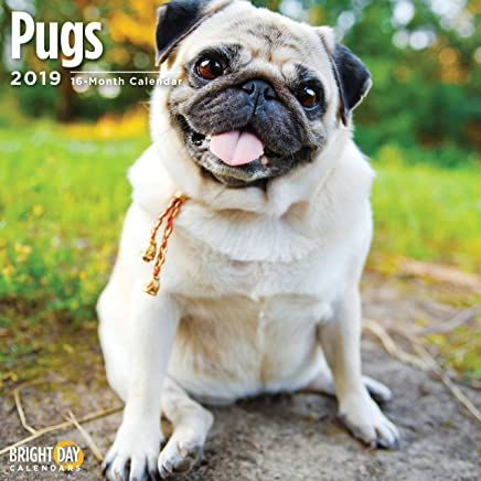 Pugs 2019 16 Month Wall Calendar 12 x 12 Inches