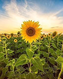 دانه های آفتابگردان برای کاشت - برای کاشت دانه های آفتابگردان ماموت - بسته ای حدود 100 دانه گل!
