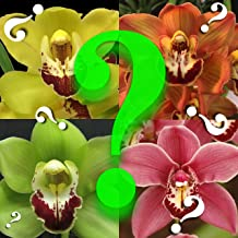 Orchid Insanity -- Cymbidium MYSTERY no id tag orchid -- many flowers, easy to grow outdoor growing in non-freezing climates