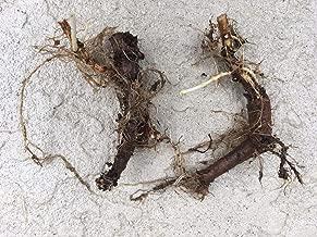 Seeds: Start Next Year's Crop Today, Organic Cascade Hop Rhizomes,