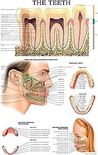 The teeth: E-chart Full illustrated