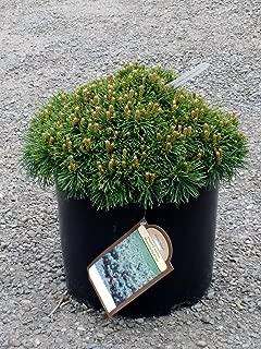 Dwarf Mugo Pine 'Valley Cushion' - Miniature Evergreen Shrub - 3 Gallon Pot