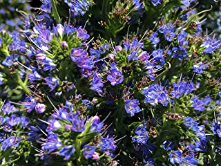 P025X03. 3 Plants of Echium fastuosum Pride of Madeira