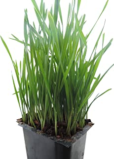 Non-GMO, Thunder Acres Premium Wheat Seed, Cat Grass Seed, Wheatgrass, Hard Red Winter Wheat (5 lbs.)