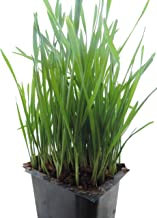 Non-GMO, Thunder Acres Premium Wheat Seed, Cat Grass Seed, Wheatgrass, Hard Red Winter Wheat (1 lbs.)