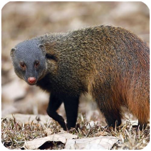 sonidos de ratas mangosta y bandicoot
