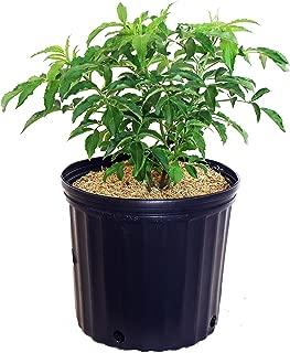 Sambucus canadensis 'York' (Elderberry) Shrub, #3 - Size Container