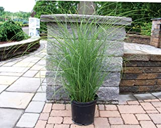 giant miscanthus for sale