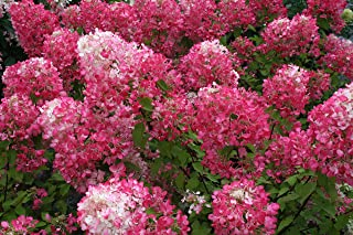 Pink Diamond Hydrangea - Trade Gallon Potted - Hardy - Healthy - 1 Plant by Growers Solution