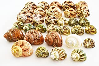 """Florida Shells and Gifts Inc. FSG - 30 Select Hermit Crab Shells Lot 3/4-2"""" size (opening 5/8-1"""") Seashells - Includes Polished Tapestry Turbos, Silver Turbos, Silver Mouth Turbos and more."""