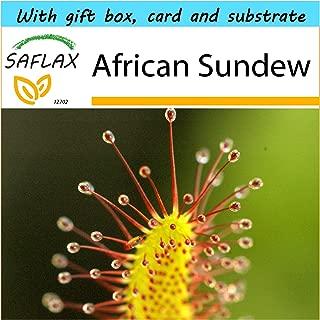 african sundew plant
