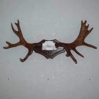 Moose Taxidermy Antlers Mount - Mounted Antlers, Horns, Skull for Sale - Real, Decor - ST4779