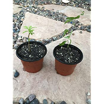 Amazon Com 9greenbox Goji Berry 4 Pot Flowering Plants