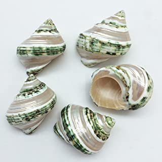 PEPPERLONELY 5PC Green Turbo with Two Pearl Bands, Hermit Crab Sea Shells, 2-1/2 Inch Up