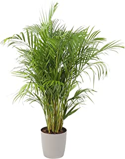 Costa Farms Areca Butterfly Palm Tree, Live Indoor Plant, 3 to 4-Feet Tall, Ships with Décor Planter, Fresh From Our Farm, Excellent Gift or Home Décor