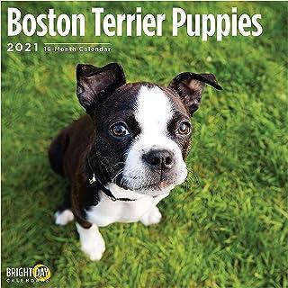 Bright Day Calendars 2021 Boston Terrier Puppies Wall Calendar by Bright Day, 12 x 12 Inch, Cute Dog