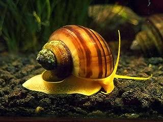 Aquatic Arts 20 B-Grade Mystery Snail Combo Pack   Freshwater Aquarium Algae Remover   Natural Undergravel Tank SubstrateCleaner