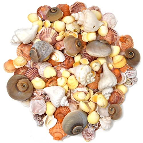 13302d74f 200 Sea Shells Bulk Mixed Beach Seashells - Shell in Various Assorted Sizes  in Net Bags