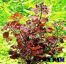 ludwigia glandulosa red