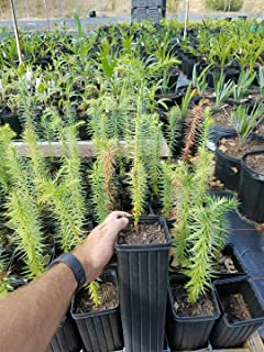 Araucaria Angustifolia Brazilian Monkey Puzzle Tree 2 Year old plant 1 gallon