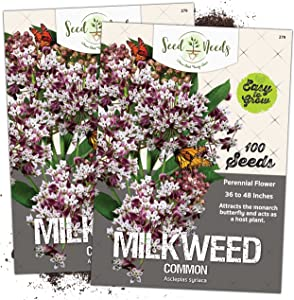 Seed Needs, Pink Common Milkweed Seeds for Planting (Asclepias syriaca) Twin Pack of 100 Seeds Each Untreated