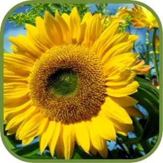 Hot Sunflower Wallpapers