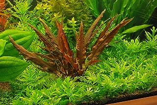 Best red crypt aquarium plant Reviews