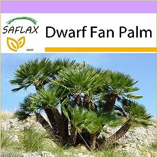 SAFLAX - Dwarf Fan Palm - 10 seeds - Chamaerops humilis