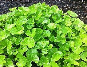 RWS Centella asiatica 100x semilla, centella asiática, centella asiática, planta de la medicina tradicional china