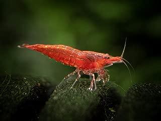 10 Live Freshwater Sakura Red Cherry Shrimp (Neocaridina davidi) - Breeding Age Young Adults at 1/2 to 1 Inch Long + Aquatic Arts Brand Food Sample