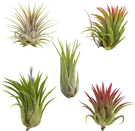 CTS AIR PLANTS Tillandsia Ionantha 5 Pack