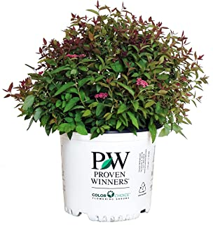 Proven Winners - Spiraea jap. Double Play Red (Spirea) Shrub, red flowers, #3 - Size Container