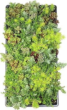Plants for Pets Live Sedum Succulent Planter