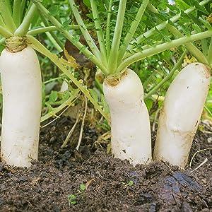 Outsidepride Daikon Radish Cover Crop Seed - 1 LB
