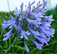 """Agapanthus Africanus 'Lily of The Nile' - 10 Live Plants - 2"""" Pot Size - Blooming Groundcover"""