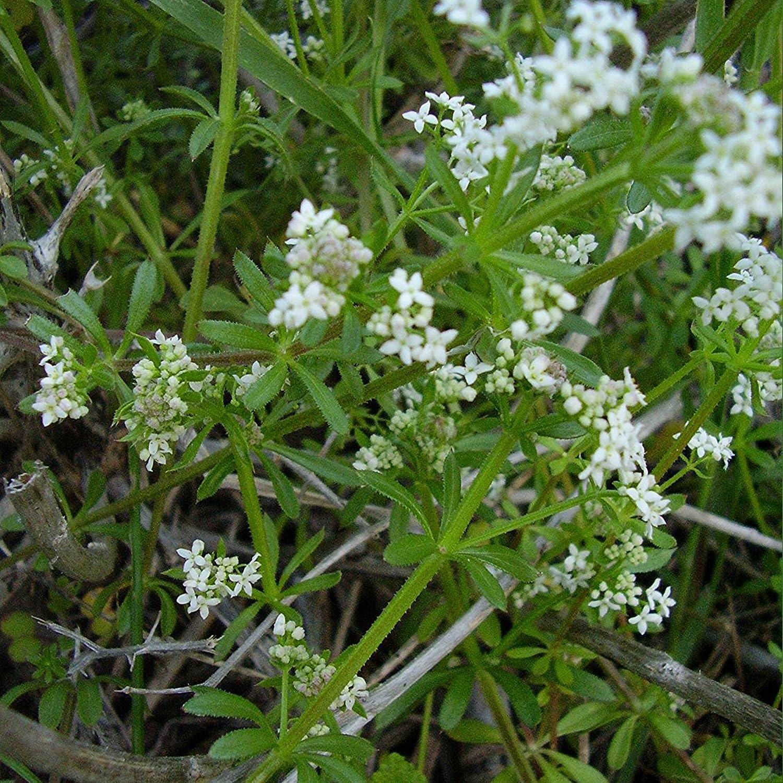 Be Very popular! super welcome Cleavers Seeds Galium aparine Herb Natural 20+ Medicinal