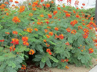 Best red mexican bird of paradise Reviews