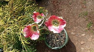 گلدان 2 گالنی ، Red Dogwood SUNSET (بومی) درخت ، تنها سگ جنگلی متنوع و دارای گلهای قرمز ، دارای خوشه های جلوه ای از گلهای قرمز در اواسط بهار ، برگهای متنوع ، شاخه های طبقه ای افقی