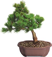 Best white pine bonsai Reviews