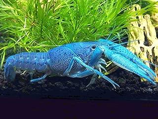 Aquatic Arts Male/Female Pair of Electric Blue Crayfish | Live Freshwater Aquarium Lobster/Crawfish/Crawdad/Real Living Fish Tank Pet