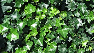 Thorndale Hardy English Ivy Groundcover - 200 Bare Root Plants