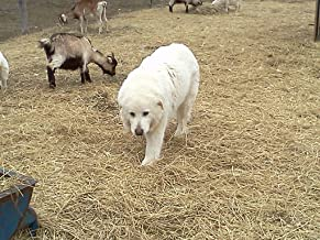 livestock guardian dog training manual