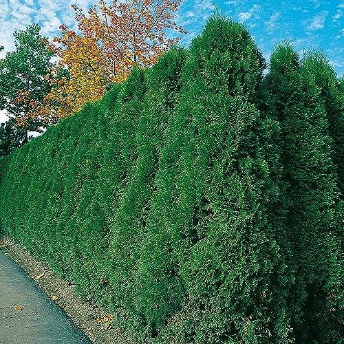 80-100cm  Heckenpflanzen /% Super Sale /% Hecke Thuja Brabant 10st