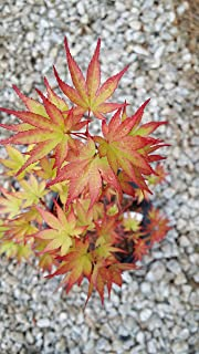 2 gal in pot,Sango-kaku Japanese Maple-brilliant Red Bark(coral Bark)the bark on new twigs turn bright red, Year round beauty with spectacular range of leaf colors- A Real Beauty, (Hydrangeas Shrub, Evergreens, Gardenia