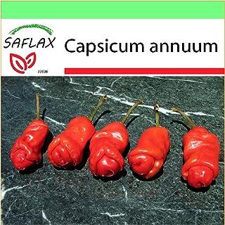 SAFLAX - Garden to Go - Chili - Peter Peppers Penis Chili - 10 Samen - Mit Tontopf, Untersetzer, Anzuchtsubstrat und Dünger - Capsicum annuum