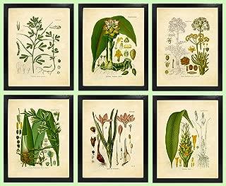Eastern and Indian Herbs and Spices Vintage Botanical Art Prints – Set of 6 – Ginger, Turmeric, Saffron, Fenugreek, Black Cumin Jeera, Asafoetida – 8x10 Matte Unframed