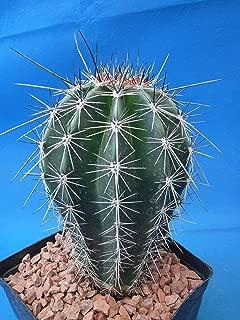 giant saguaro cactus care